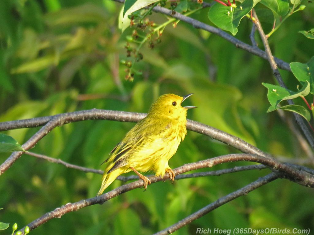 Lester-River-Sunrise-Yellow-Warbler