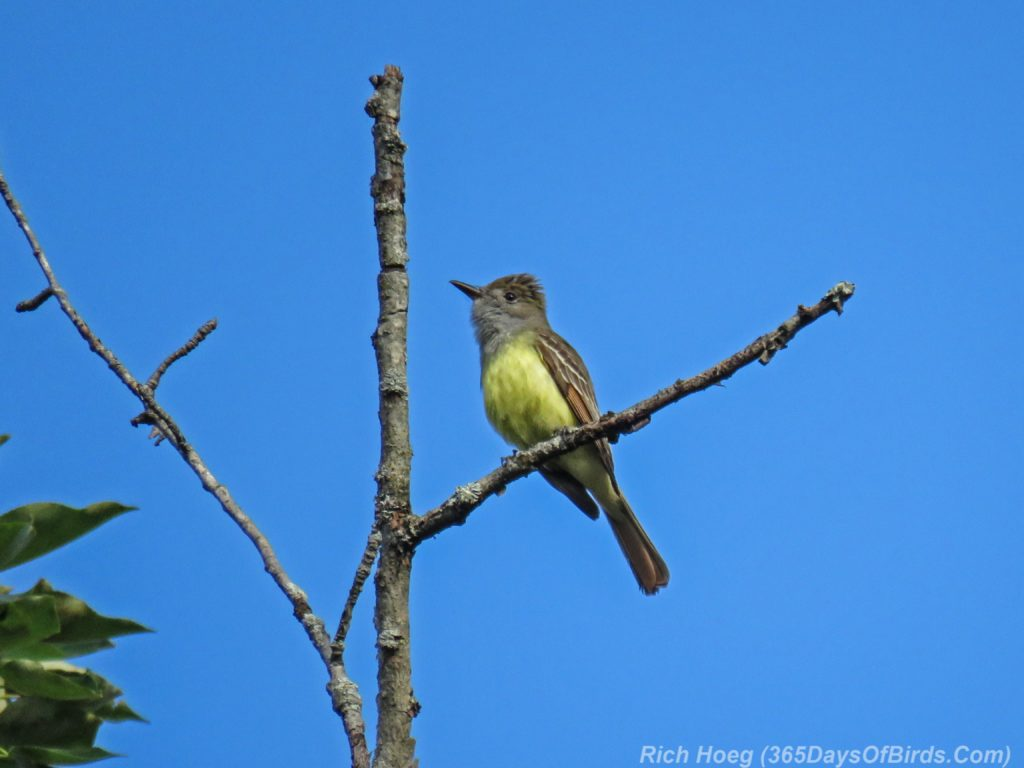 Y3-M06-Amity-Great-Crested-Flycatcher-1