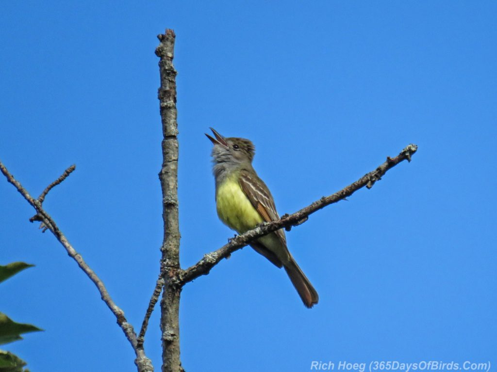 Y3-M06-Amity-Great-Crested-Flycatcher-2