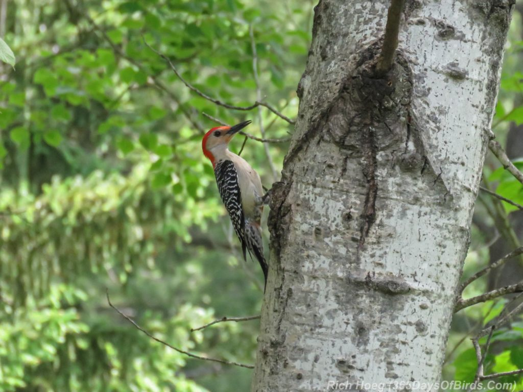 Y3-M06-Amity-Red-Bellied-Woodpecker-1