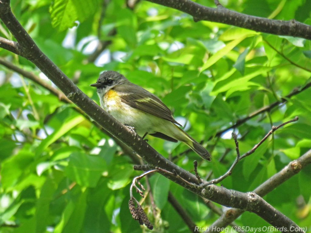 Y3-M06-Hartley-Nature-Center-American-Redstart-Female-1