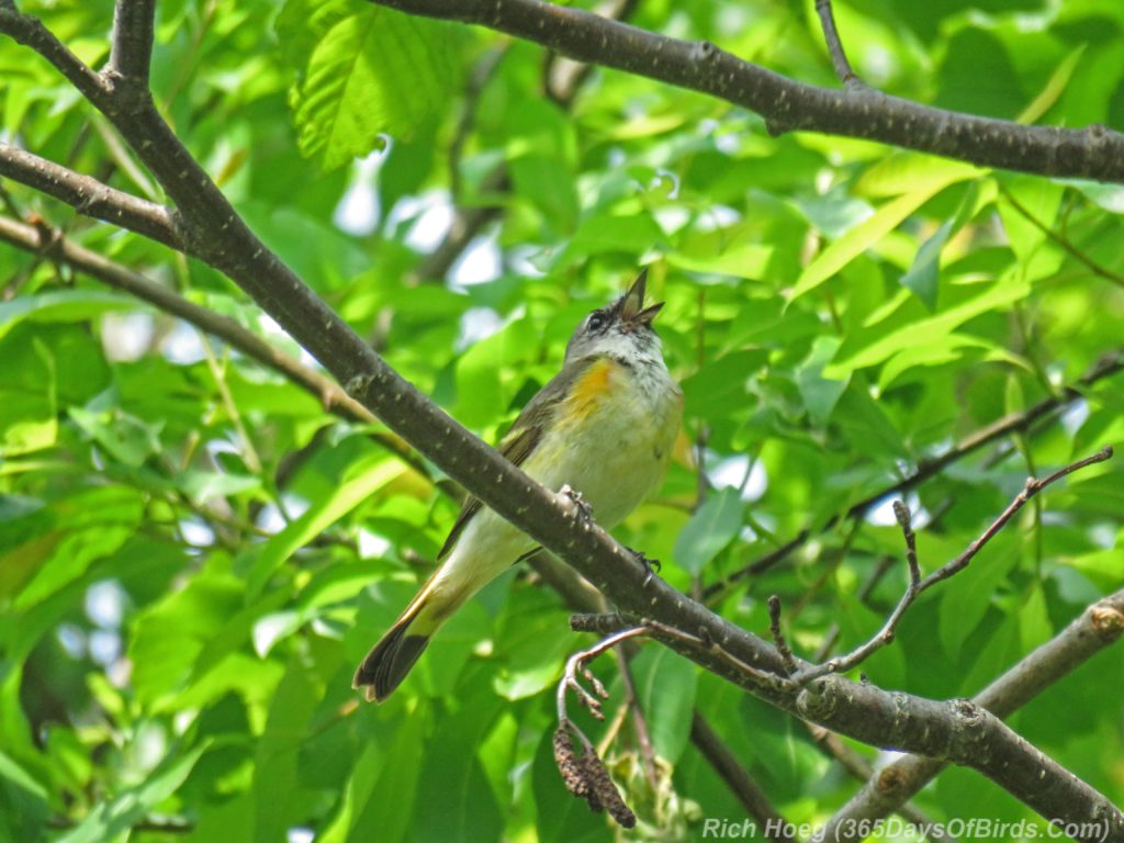 Y3-M06-Hartley-Nature-Center-American-Redstart-Female-2
