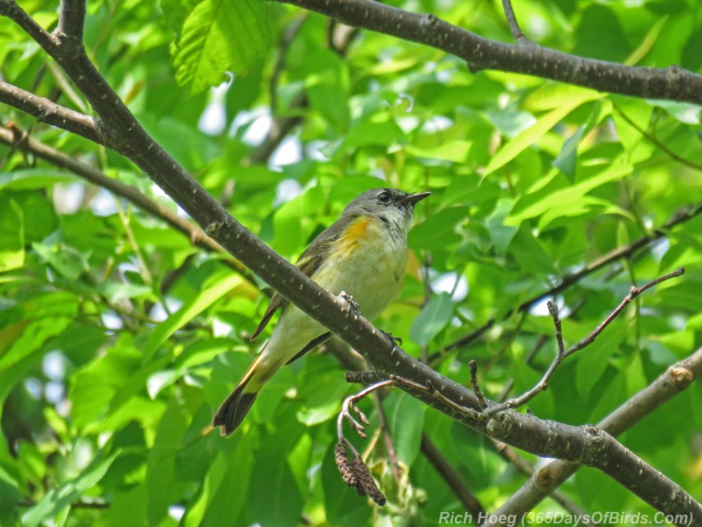 Y3-M06-Hartley-Nature-Center-American-Redstart-Female-3