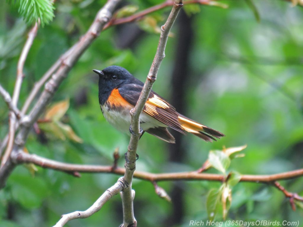 Y3-M06-Hartley-Nature-Center-American-Redstart-Male