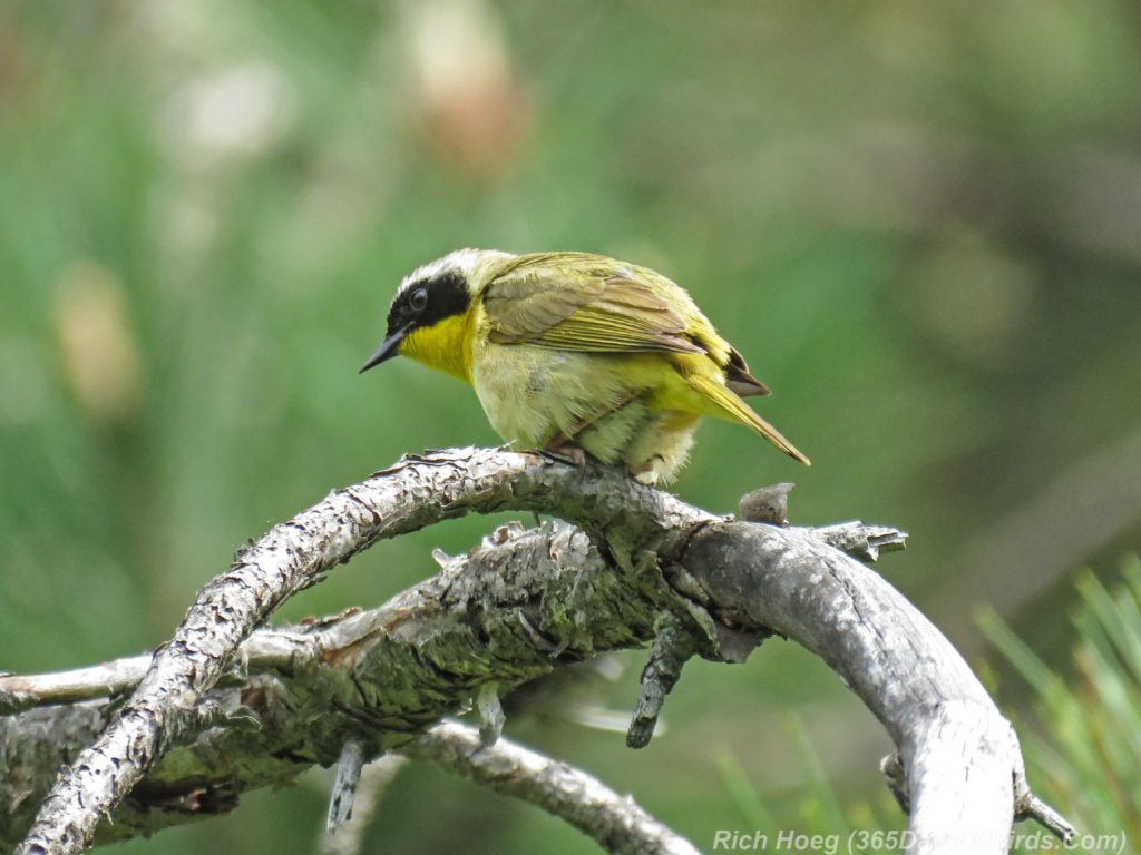 Y3-M06-Hartley-Nature-Center-Common-Yellowthroat-1
