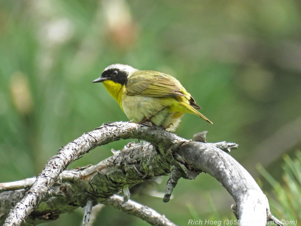 Y3-M06-Hartley-Nature-Center-Common-Yellowthroat-2