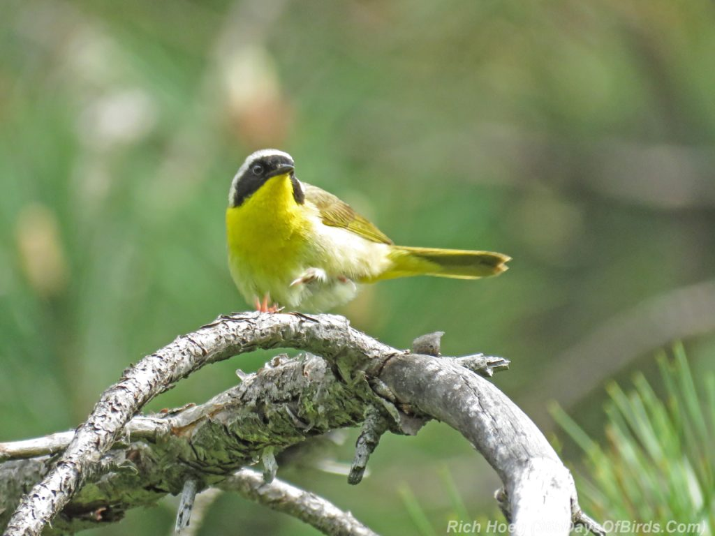 Y3-M06-Hartley-Nature-Center-Common-Yellowthroat-3