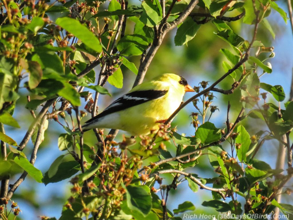 Y3-M06-Hawk-Ridge-American-Goldfinch