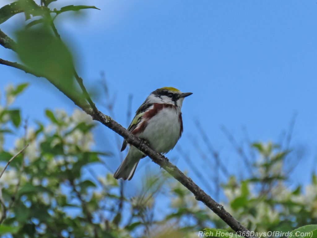 Y3-M06-Hawk-Ridge-Chestnut-Sided-Warbler-1