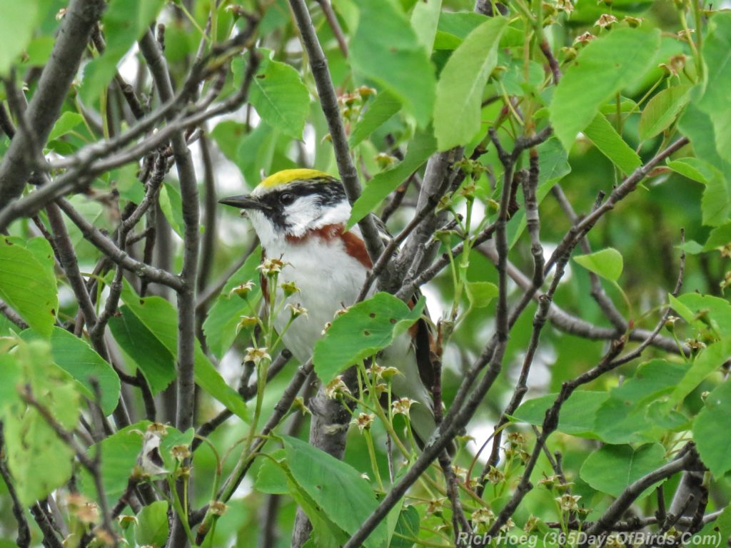 Y3-M06-Hawk-Ridge-Chestnut-Sided-Warbler-2