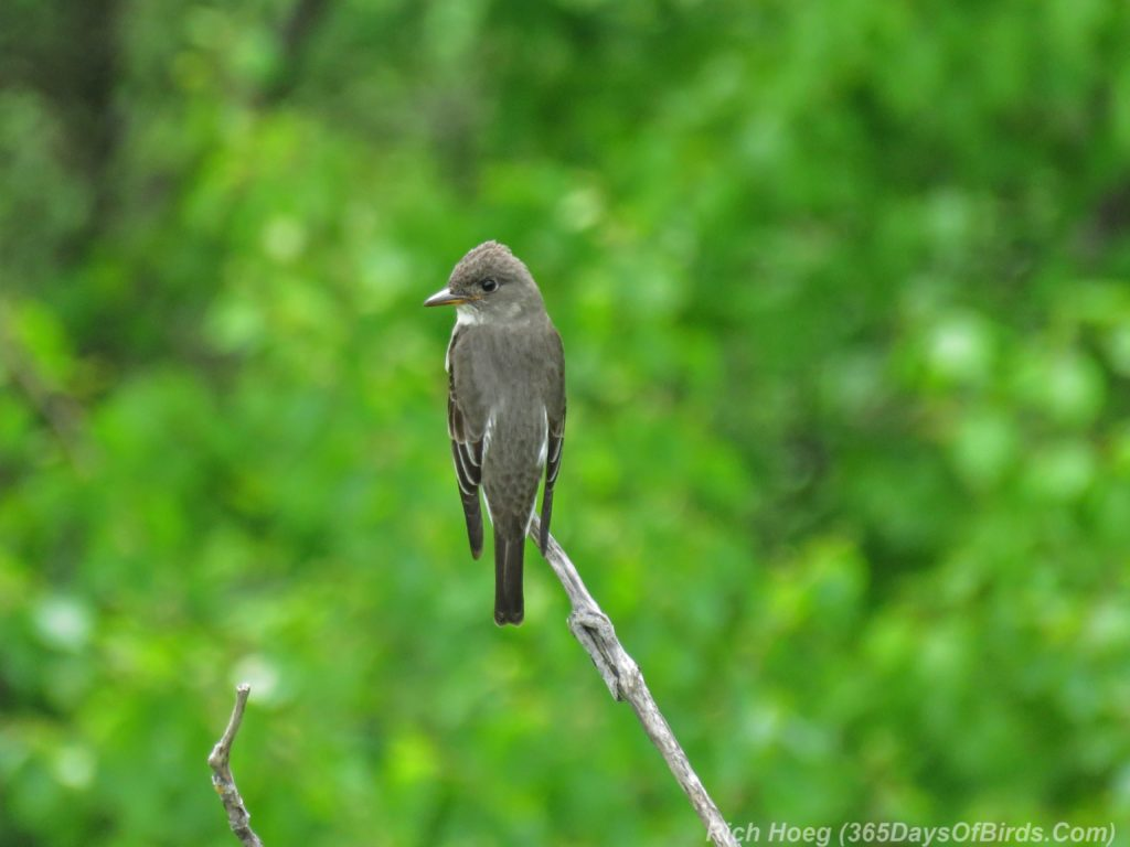 Y3-M06-Hawk-Ridge-Olive-Sided-Flycatcher