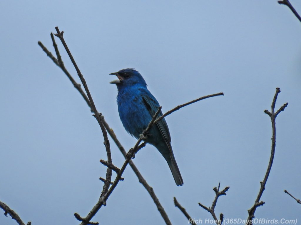 Y3-M06-Hawk-Ridge-Indigo-Bunting-1-Singing