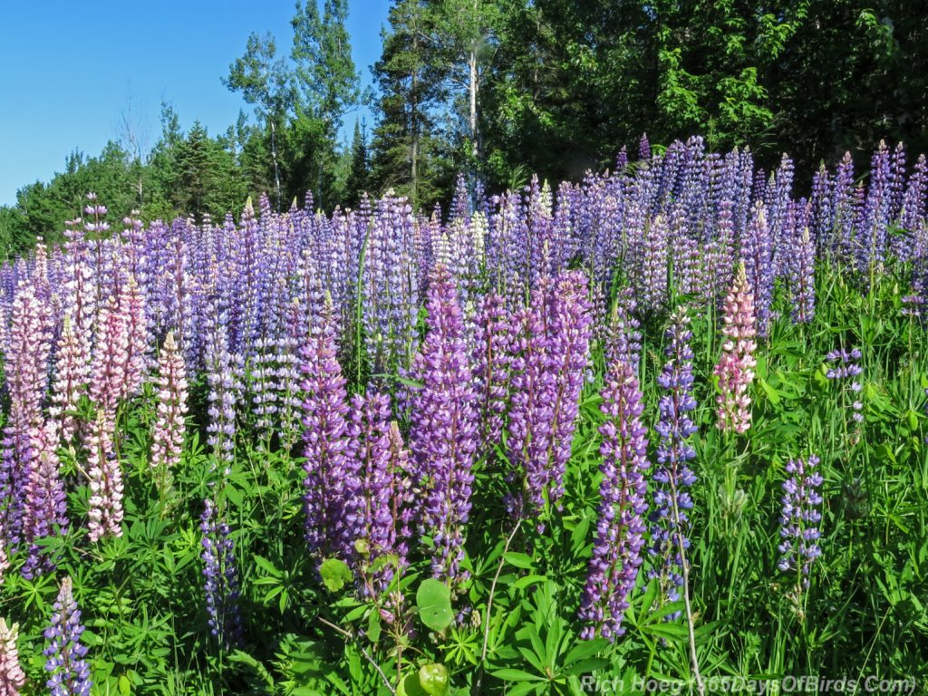 Y3-M06-Lizmore-Road-Lupines