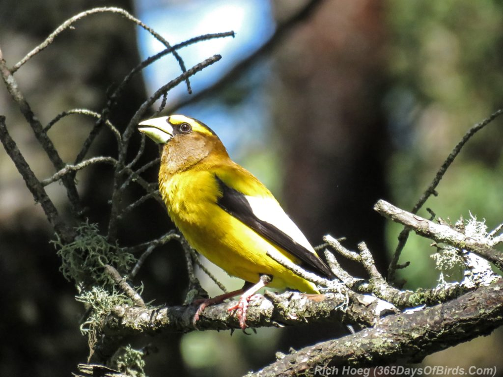 Y3-M06-Pagami-Creek-Wildfire-Evening-Grosbeak-2