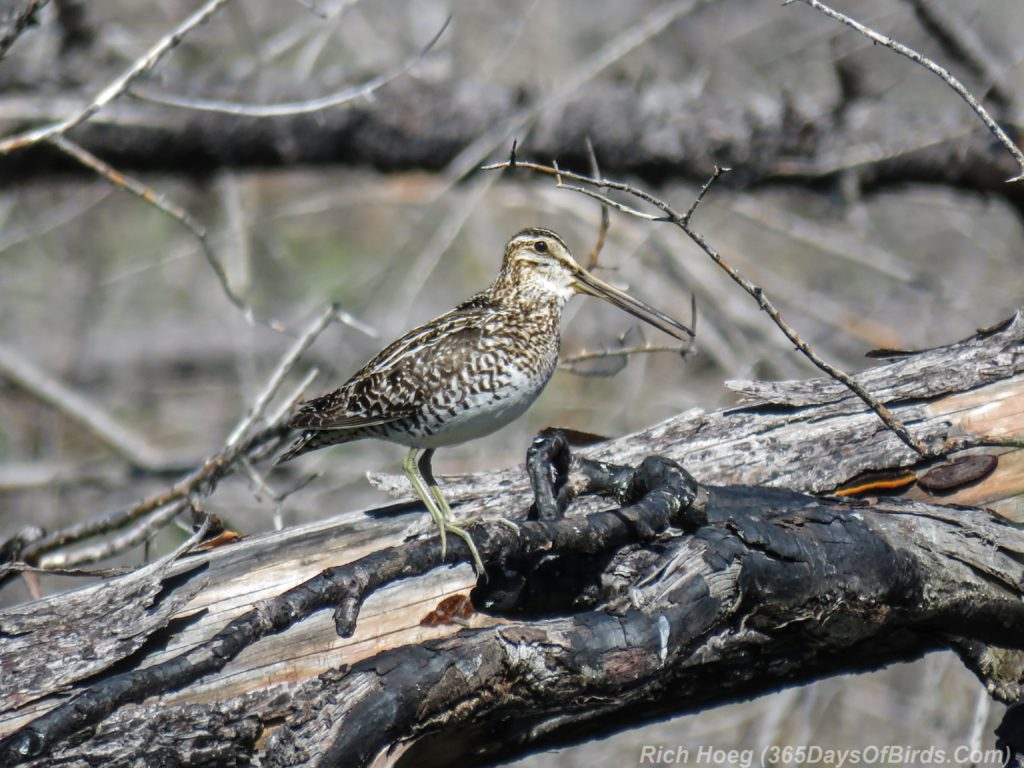 Y3-M06-Pagami-Creek-Wildfire-Wilsons-Snipe-3-Singing