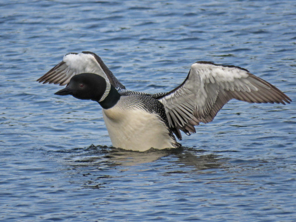 Y3-M06-Sherburne-National-Wildlife-Refuge-Common-Loon-1