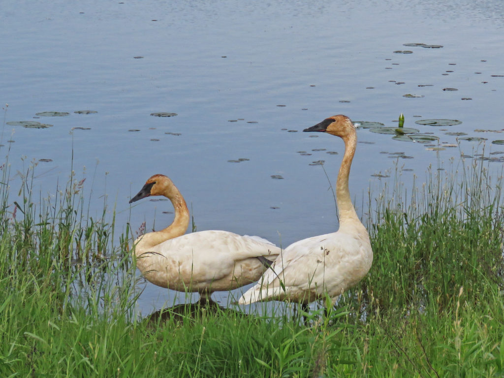 Y3-M06-Sherburne-National-Wildlife-Refuge-Tumpeter-Swans-1