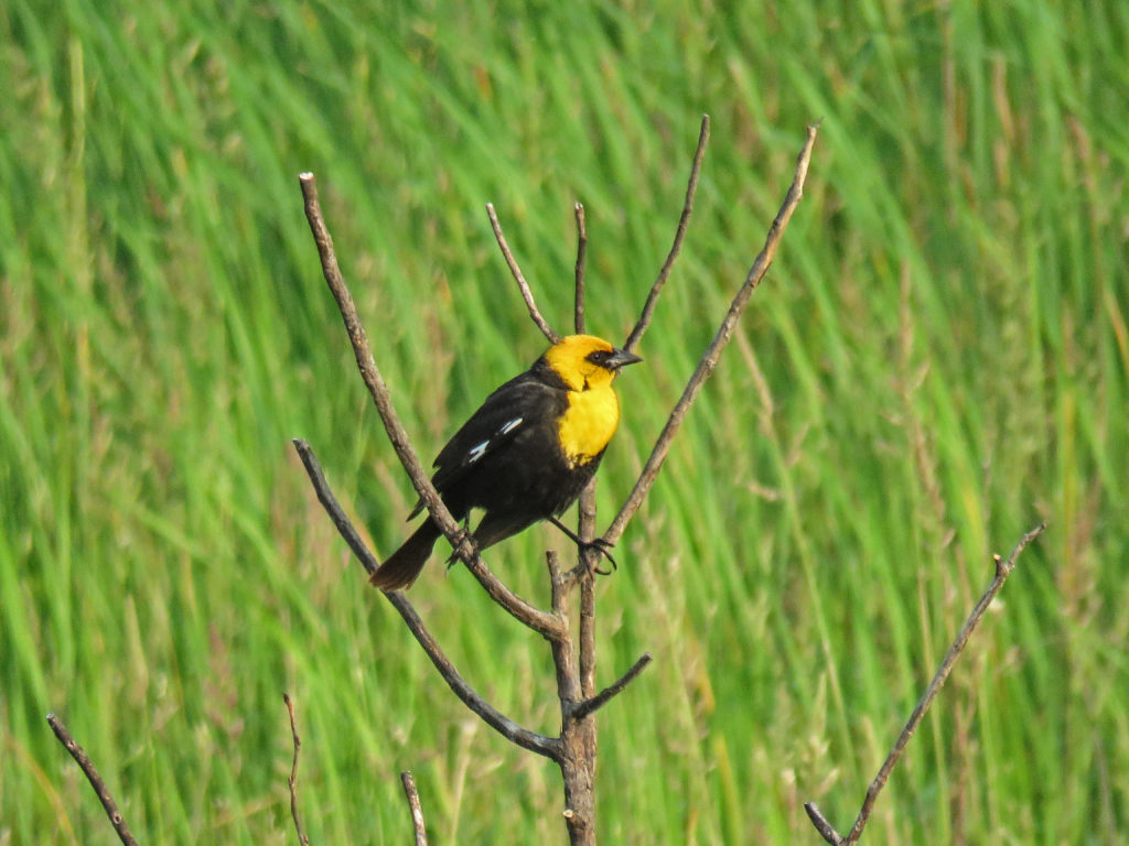 Y3-M06-Sherburne-National-Wildlife-Refuge-Yellow-Headed-Blackbird-1