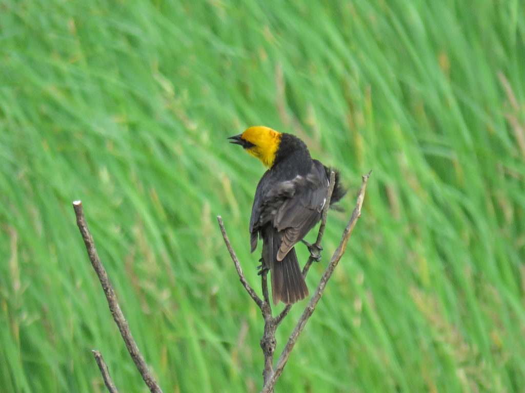 Y3-M06-Sherburne-National-Wildlife-Refuge-Yellow-Headed-Blackbird-2
