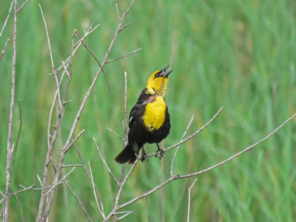 Y3-M06-Sherburne-National-Wildlife-Refuge-Yellow-Headed-Blackbird-4