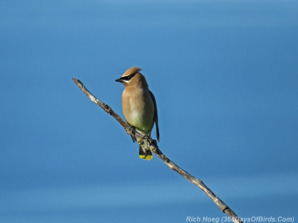 Y3-M06-Sunrise-Hawk-Ridge-Cedar-Waxwing