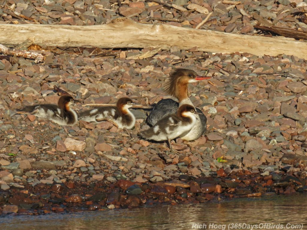Y3-M06-Sunrise-Lester-River-Common-Merganser-Family-1