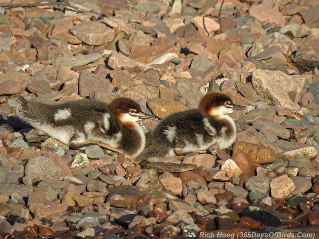 Y3-M06-Sunrise-Lester-River-Common-Merganser-Family-2