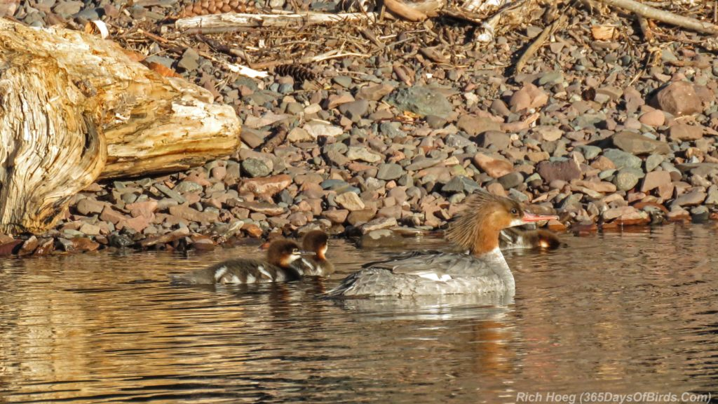 Y3-M06-Sunrise-Lester-River-Common-Merganser-Family-5