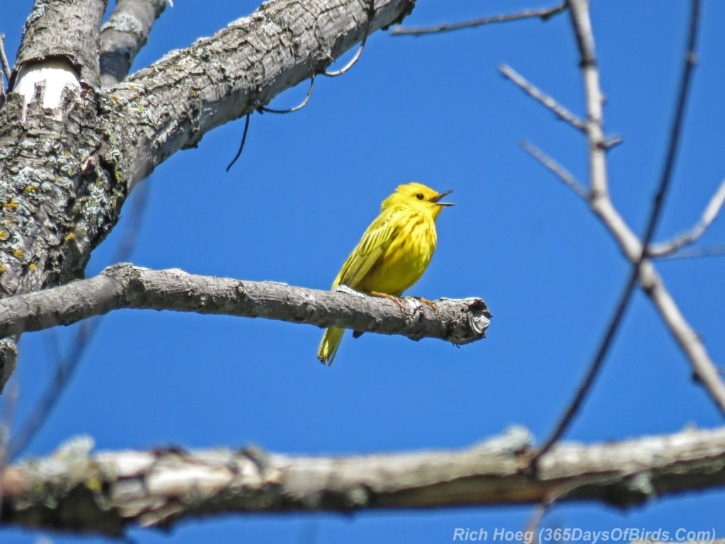 Y3-M06-Western-Waterfront-Trail-Yellow-Warbler-1
