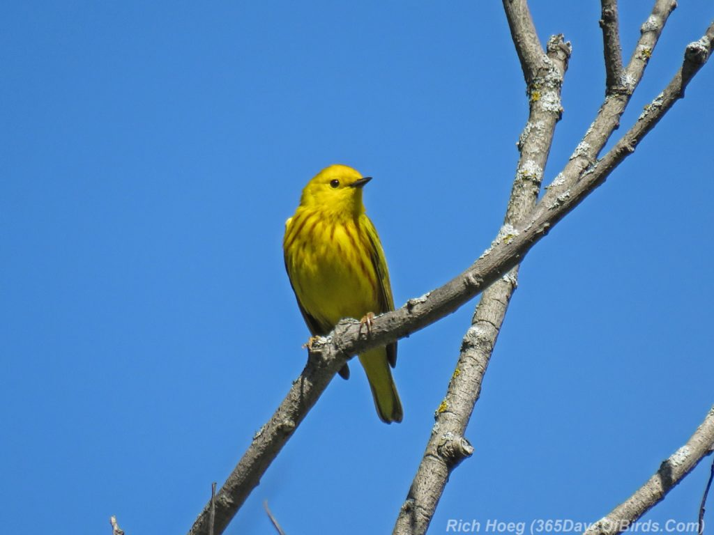 Y3-M06-Western-Waterfront-Trail-Yellow-Warbler-2