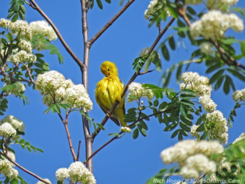 Y3-M06-Western-Waterfront-Trail-Yellow-Warbler-3