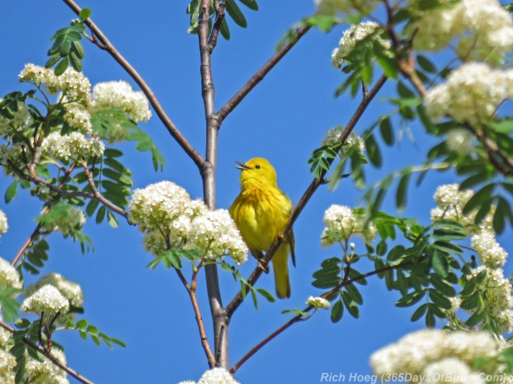 Y3-M06-Western-Waterfront-Trail-Yellow-Warbler-4