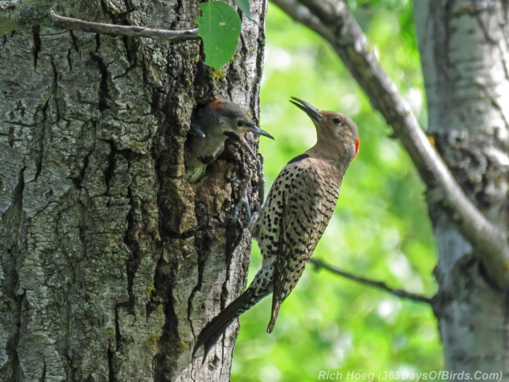 Y3-M06-Yellow-Shafted-Flicker-Feeding-Chicks-3-Two-Chicks