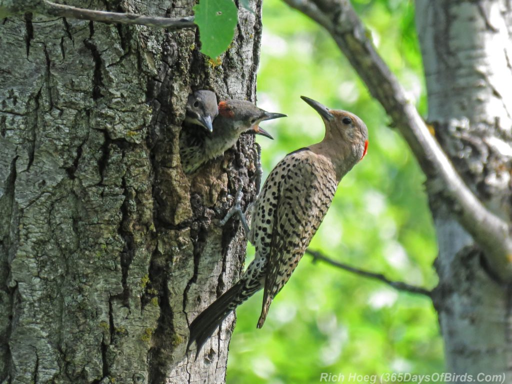 Y3-M06-Yellow-Shafted-Flicker-Feeding-Chicks-4-Two-Chicks