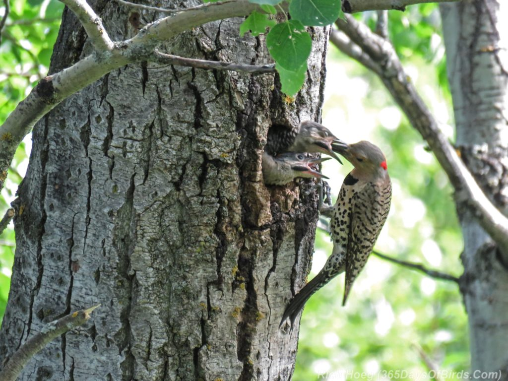 Y3-M06-Yellow-Shafted-Flicker-Feeding-Chicks-6-Two-Chicks