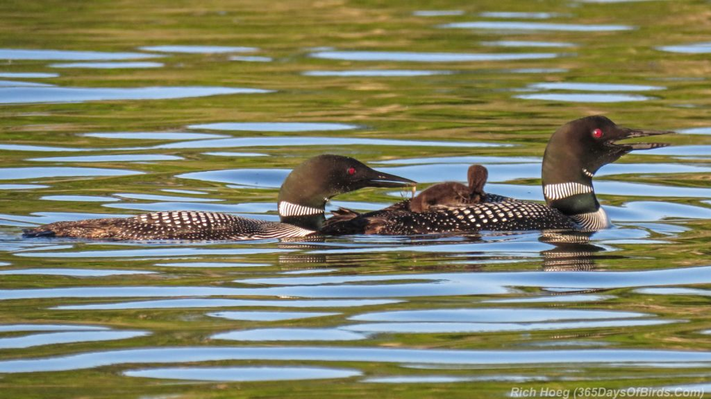Y3-M06-Northstar-Lake-Common-Loon-08-Piggyback-Feeding