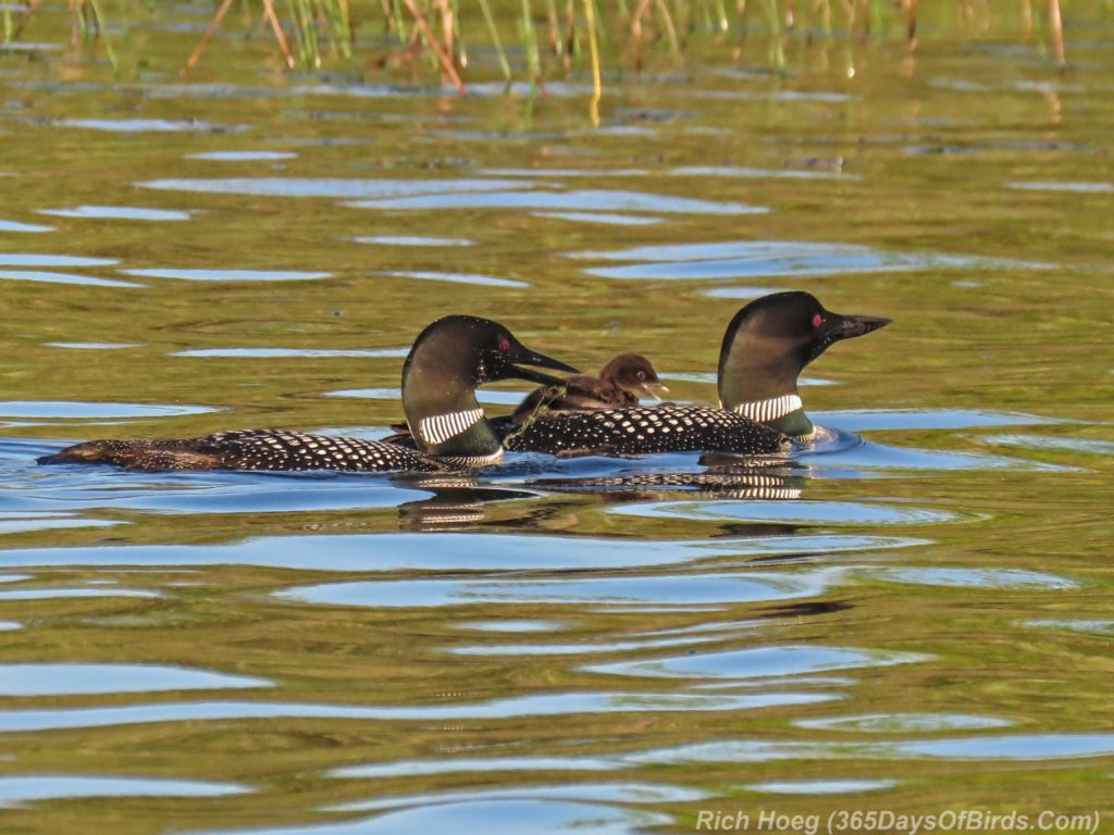 Y3-M06-Northstar-Lake-Common-Loon-10-Piggyback-Feeding