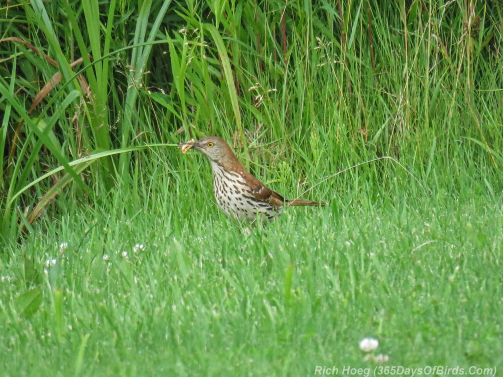 Y3-M07-Cloverland-Township-Brown-Thrasher-1