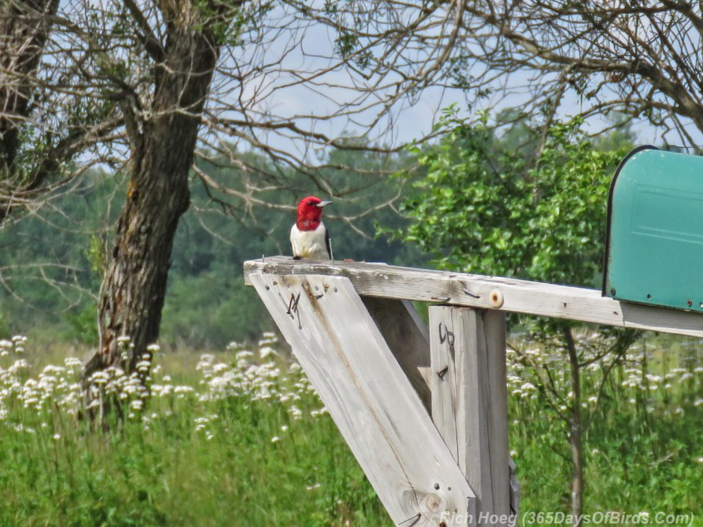 Y3-M07-Cloverland-Township-Red-Headed-Woodpecker-2