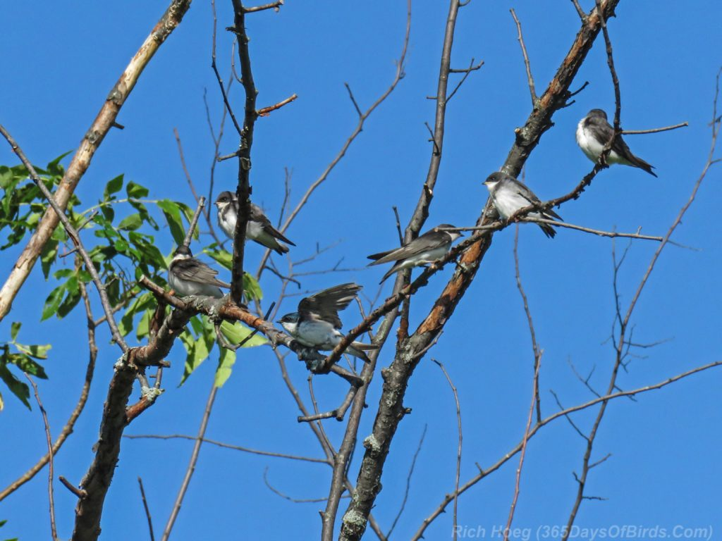 Y3-M07-Cloverland-Tree-Swallows-Tree