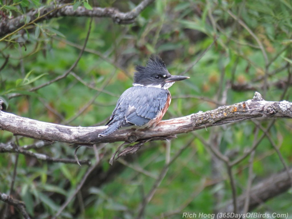 Y3-M07-Lester-River-Kingfisher
