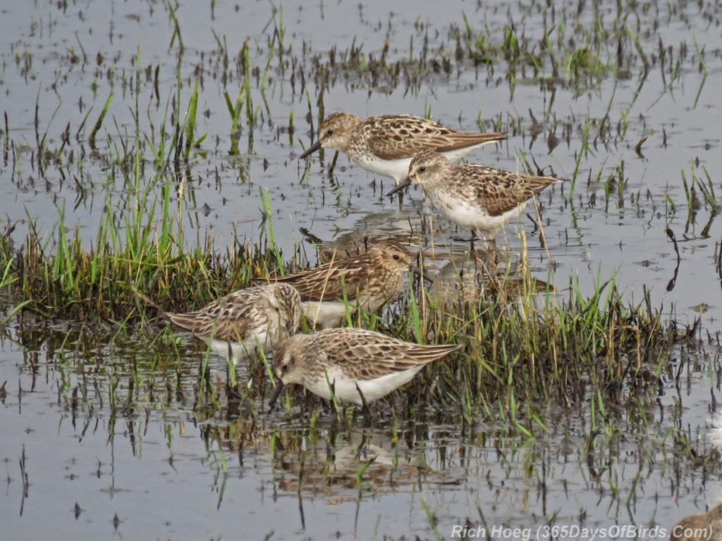 Y3-M07-Park-Point-Rec-Area-SemiPalmated-Sandpiper-Flock-1
