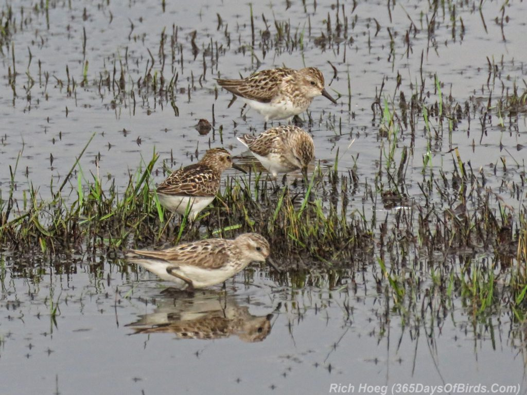 Y3-M07-Park-Point-Rec-Area-SemiPalmated-Sandpiper-Flock-3
