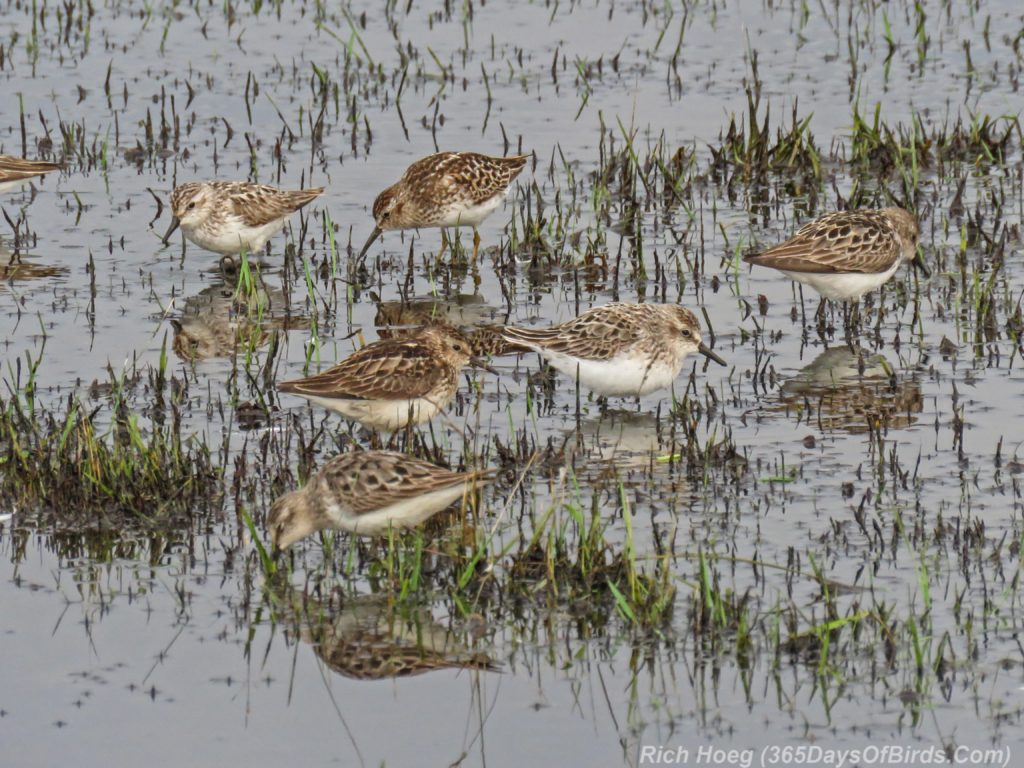Y3-M07-Park-Point-Rec-Area-SemiPalmated-Sandpiper-Flock-4