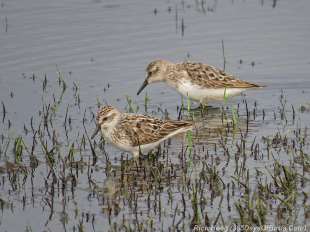 Y3-M07-Park-Point-Rec-Area-SemiPalmated-Sandpiper-Pair-1