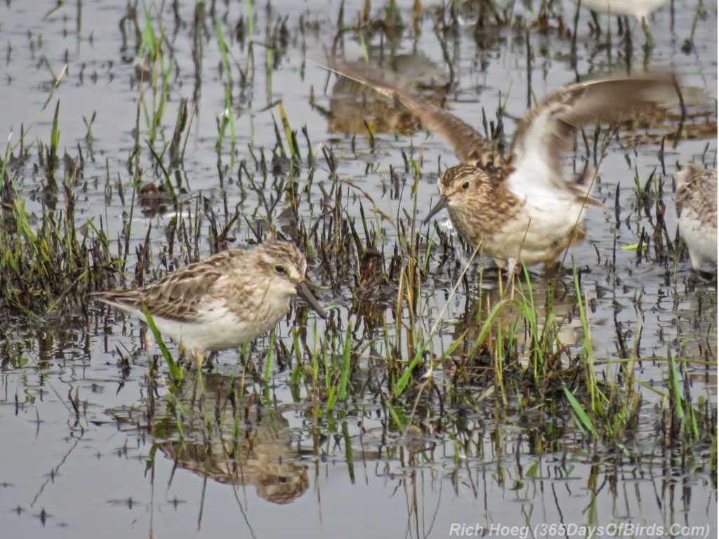 Y3-M07-Park-Point-Rec-Area-SemiPalmated-Sandpiper-Pair-2