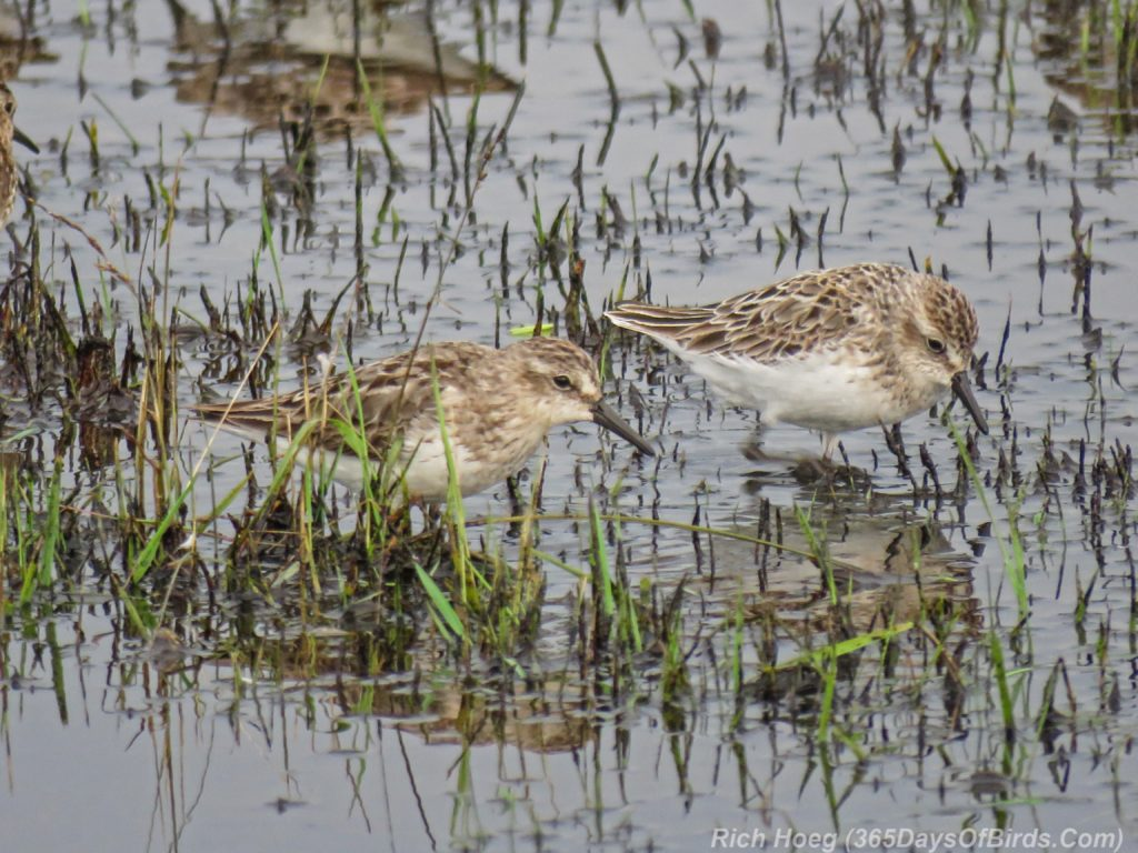 Y3-M07-Park-Point-Rec-Area-SemiPalmated-Sandpiper-Pair-3