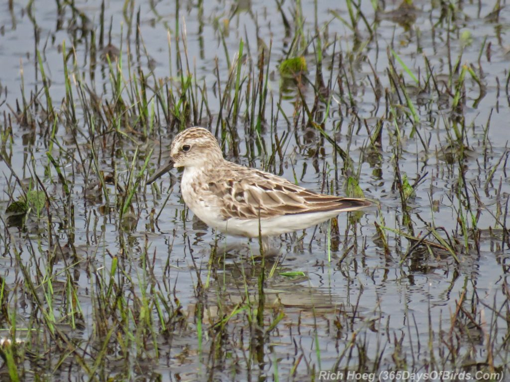Y3-M07-Park-Point-Rec-Area-SemiPalmated-Sandpiper-Single-1