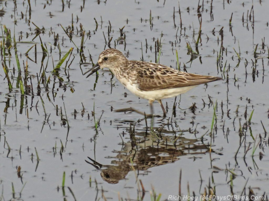 Y3-M07-Park-Point-Rec-Area-SemiPalmated-Sandpiper-Single-2-Feeding