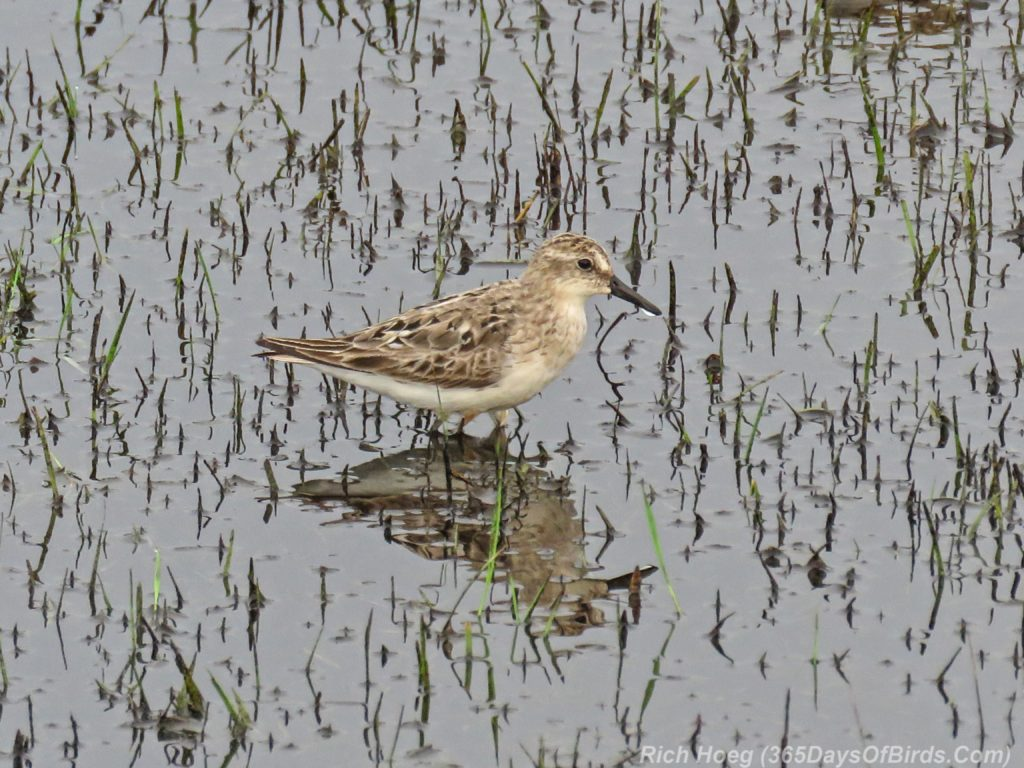 Y3-M07-Park-Point-Rec-Area-SemiPalmated-Sandpiper-Single-3-Water-Drop